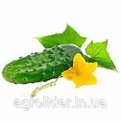 Як захистити огірки і виростити гідний урожай?