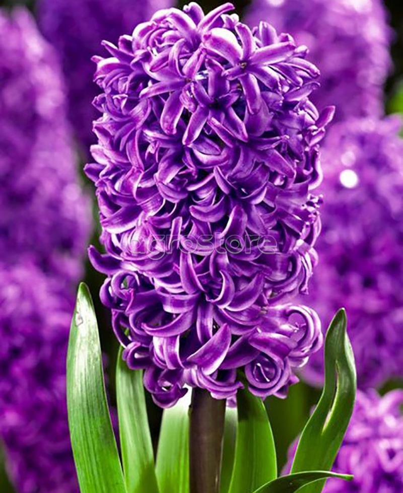 Гіацинт Purple Sensation  18/19