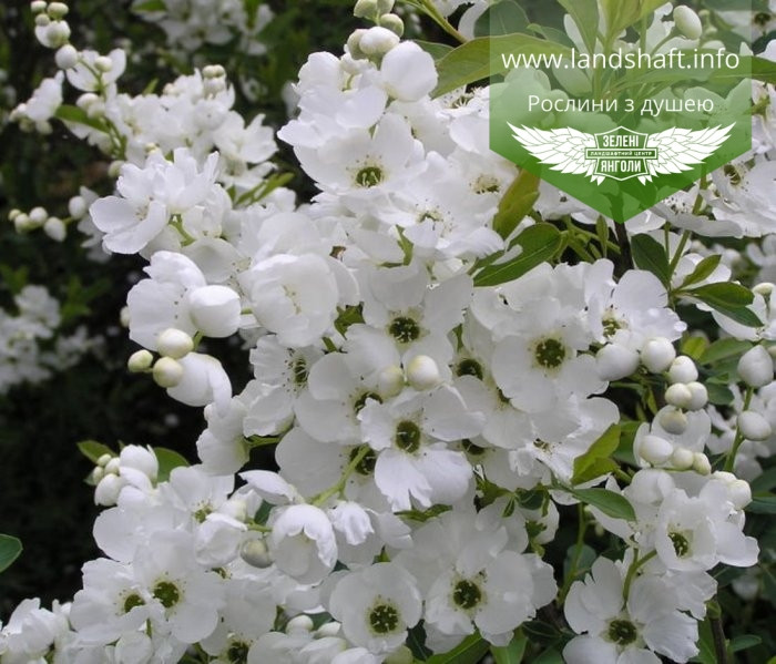 Exochorda racemosa, Екзохорда китицевидна,P7-Р9 - горщик 9х9х9
