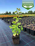 Exochorda racemosa, Екзохорда китицевидна,P7-Р9 - горщик 9х9х9, фото 2