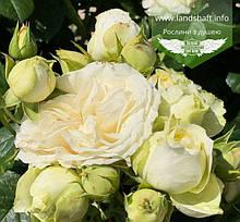 Rosa 'Winter Lodge', Троянда шраб 'Вінтер Лодж',C2 - горщик 2л
