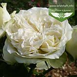 Rosa 'Winter Lodge', Троянда шраб 'Вінтер Лодж',C2 - горщик 2л, фото 2