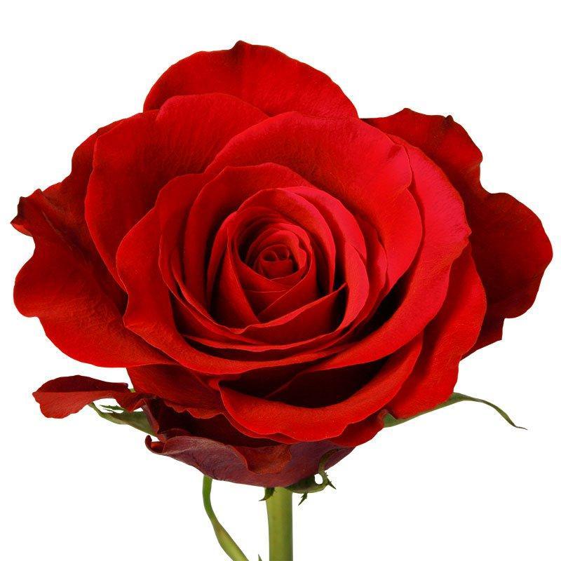 Роза Фридом Эквадор. Roses Reedom Ekvador