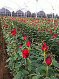 Роза Фридом Эквадор. Roses Reedom Ekvador, фото 7