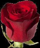 Роза Фридом Эквадор. Roses Reedom Ekvador, фото 8