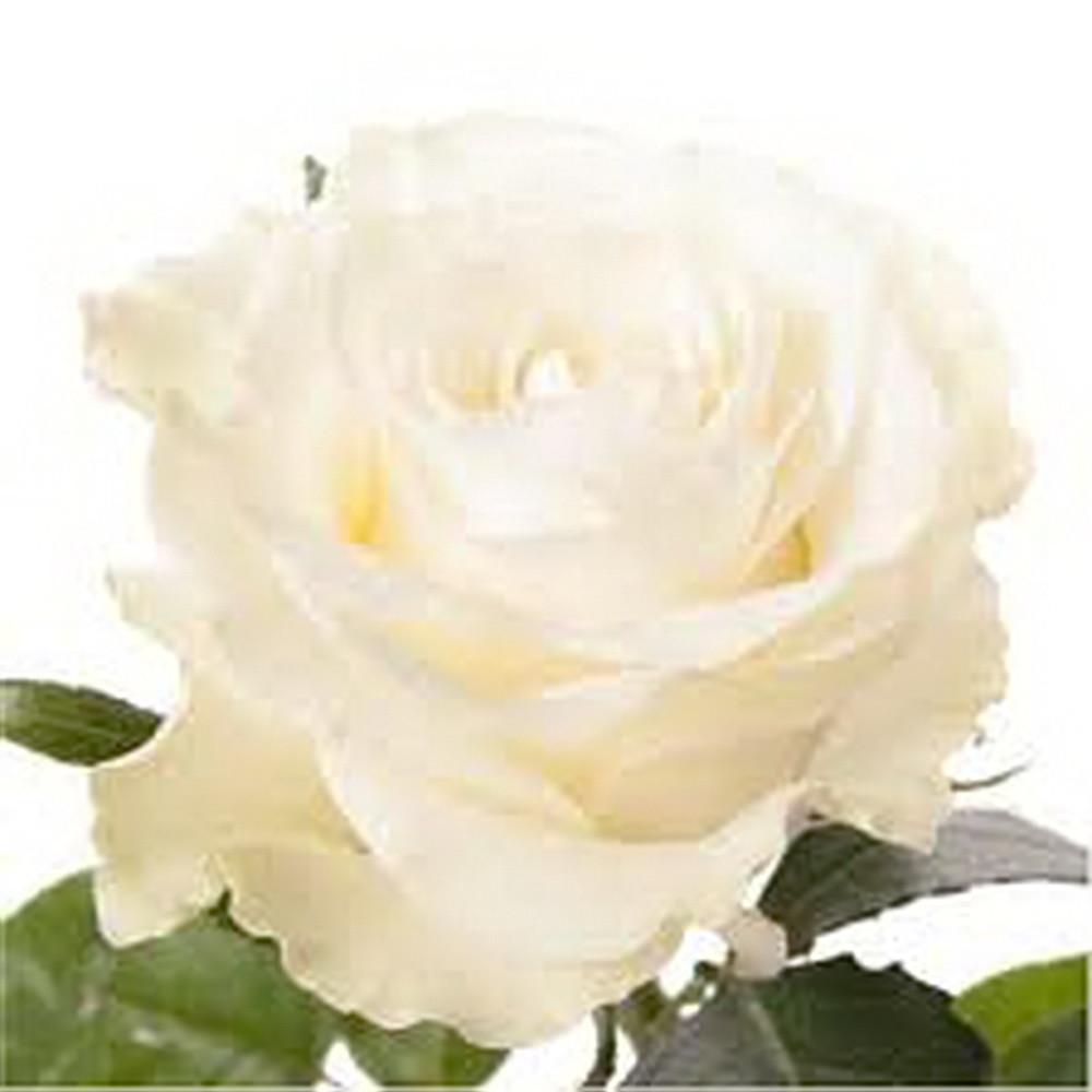 Роза Мондиаль Эквадор. Roses Reedom Ekvador