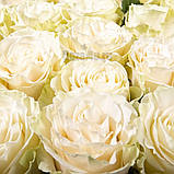 Роза Мондиаль Эквадор. Roses Reedom Ekvador, фото 2