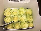 Роза Мондиаль Эквадор. Roses Reedom Ekvador, фото 5