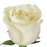 Роза Мондиаль Эквадор. Roses Reedom Ekvador, фото 8