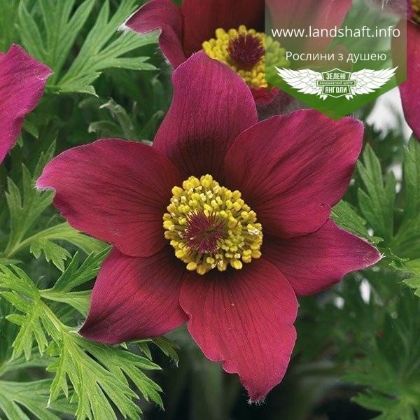 Pulsatilla vulgaris 'Pinwheel Dark Red Shades', Сон звичайний 'Пінвіл Дарк Ред Шейдс',P7-Р9 - горщик 9х9х9