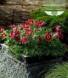 Pulsatilla vulgaris 'Pinwheel Dark Red Shades', Сон звичайний 'Пінвіл Дарк Ред Шейдс',P7-Р9 - горщик 9х9х9, фото 2