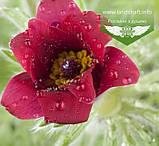 Pulsatilla vulgaris 'Pinwheel Dark Red Shades', Сон звичайний 'Пінвіл Дарк Ред Шейдс',P7-Р9 - горщик 9х9х9, фото 3