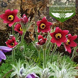 Pulsatilla vulgaris 'Pinwheel Dark Red Shades', Сон звичайний 'Пінвіл Дарк Ред Шейдс',P7-Р9 - горщик 9х9х9, фото 4