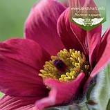 Pulsatilla vulgaris 'Pinwheel Dark Red Shades', Сон звичайний 'Пінвіл Дарк Ред Шейдс',P7-Р9 - горщик 9х9х9, фото 5
