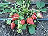 Как вырастить клубнику в Крыму.