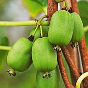 Саженец актинидии аргута ВИТИ КИВИ (Vitikiwi) - зеленый, самоплодный, морозостойкий, 1-летний