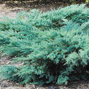 Саженцы Можжевельника виргинского Грей Оул (Juniperus virginiana Grey Owl)
