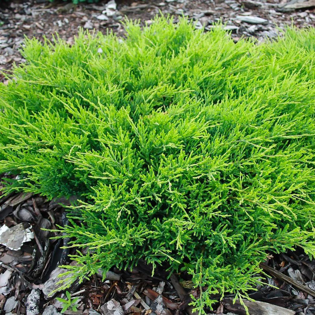 Саженцы Можжевельника горизонтального Андорра Компакт (Juniperus horizontalis Andorra Compact)