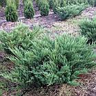 Саженцы Можжевельника казацкого Сизый (Juniperus sabina Syziy), фото 2