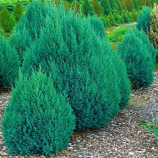 Саженцы Можжевельника китайского Стрикта (Juniperus chinensis Stricta)