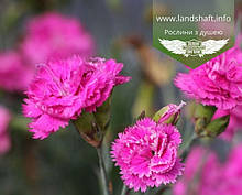 Dianthus plumarius 'Pretty Becky', Гвоздика 'Пріті Бекі',C2 - горщик 2л