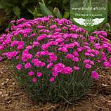 Dianthus plumarius 'Pretty Becky', Гвоздика 'Пріті Бекі',C2 - горщик 2л, фото 2