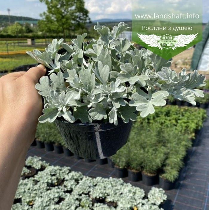 Artemisia stelleriana 'Silver Brocade', Полин Стеллера 'Сілвер Брокейд',C2 - горщик 2л
