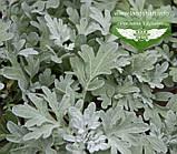 Artemisia stelleriana 'Silver Brocade', Полин Стеллера 'Сілвер Брокейд',C2 - горщик 2л, фото 3