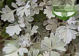 Artemisia stelleriana 'Silver Brocade', Полин Стеллера 'Сілвер Брокейд',C2 - горщик 2л, фото 4