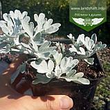 Artemisia stelleriana 'Silver Brocade', Полин Стеллера 'Сілвер Брокейд',C2 - горщик 2л, фото 5