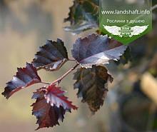 Betula pendula 'Purpurea', Береза повисла 'Пурпуреа',60-80см,C3 - горщик 3л