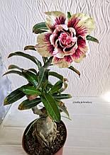 Адениум Blue Lily (черенок, тонкий)