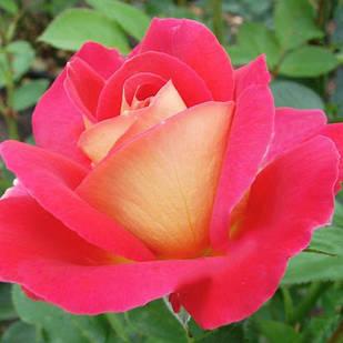 Саженцы парковой  розы Декор Арлекин (Decor Arlequin)