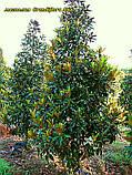 Магнолия крупноцветковая  Grandiflora Alta 45-50см, фото 5