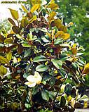 Магнолия крупноцветковая  Grandiflora Alta 45-50см, фото 3