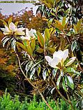Магнолия крупноцветковая  Grandiflora Alta 45-50см, фото 4