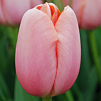Тюльпан Menton  12+