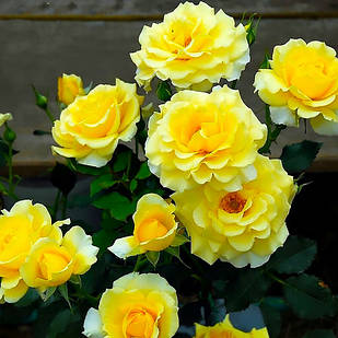 Саженцы плетистой розы Казино (Rose Casino)