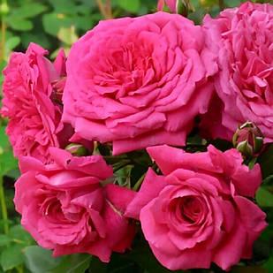 Саженцы плетистой розы Лагуна (Rose Laguna)
