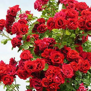 Саженцы плетистой розы Ореанда (Rose Oreanda)