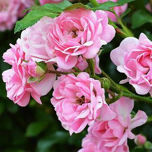 Саженцы почвопокровной розы Зе Фейри (Rose The Fairy)
