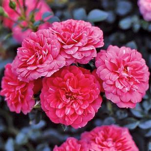 Саженцы почвопокровной розы Роза Книрпс (Rose Knirps)