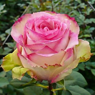 Саженцы чайно-гибридной розы Эсперанса (Rose Esprance)