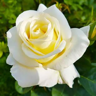 Саженцы чайно-гибридной розы Эдванс (Rose Advance)