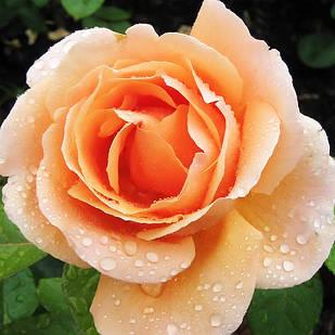 Саженцы чайно-гибридной розы Аббай де Клуни (Rose Abbayede Cluny)