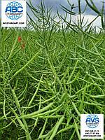 Озимый рапс под глифосат Джордан РС. Урожайный гибрид озимого рапса Джордан 45ц / га устойчивого к раундапу.