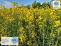 Гибрид озимого рапса Джордан под раундап. Урожайный озимый рапс Джордан 45ц/га под глифосат. Урожай 2020 года.