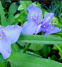 Традесканция садовая голубая деленка