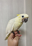 Папуга Желтохохлый Какаду (пташеня выкормыш)