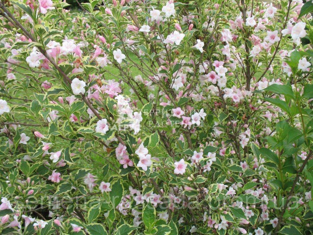 Вейгела квітуча Splendid (3 л, 20-25 см)
